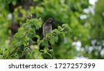 Rufous Hummingbird Nest  In ...