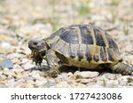 Small photo of Eastern Hermann's tortoise, European terrestrial turtle, Testudo hermanni boettgeri