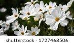 White Garden Cosmos Flower...