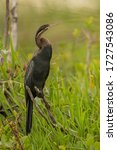 Perched African Darter  Anhing...