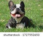 Black And White French Bulldog...
