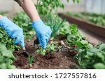 Gardeners hands planting and...