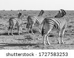 Three Zebra Turn And Face The...