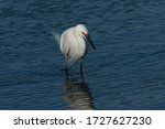 Snowy Egret In A North...