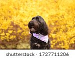 Portuguese Water Dog In Front...