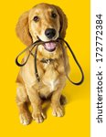 Stock photo puppy labrador with leash 172772384