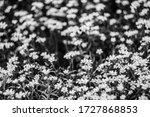 Cerastium Tomentosum. Field Of...