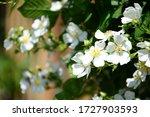 White Wild Roses In The Sunshine