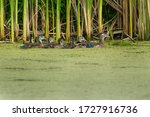 A Female Wood Duck Is Swimming...