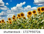 Summer Field Of Sunflowers On A ...