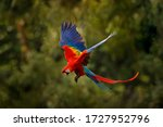 Red Macaw Parrot Flying In Dark ...