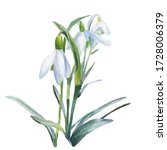 Snowdrops  Spring Flowers...
