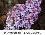 Purple Lilac Close Up. Lilac O...