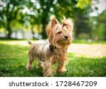 Yorkshire Terrier On A...
