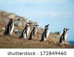 Five Magellanic Penguins On Th...