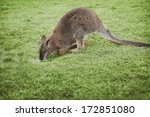 Little Wallaby On Green Glass...