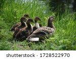 Mother Mallard Duck With Her...