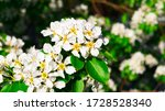 Bright White Pear Flowers With...