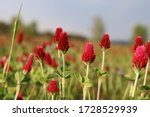 Red Clover In A Large Meadow...