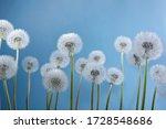 White Dandelions On Blue...