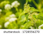 Nettle With Fluffy Green Leaves....