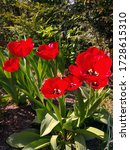 Group Of Bright Red Tulips The...