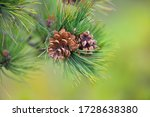 Pine Branch With Cones On A...