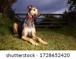 Beautiful Lurcher Looking Off...