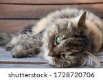 Long Hair Tabby Cat With...