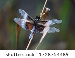 A Widow Skimmer Dragonfly With...