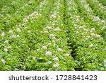 Summer Potato Field With...
