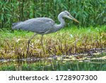 A grey heron  ardea cinerea  in ...