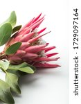 big protea flower head on white ... | Shutterstock . vector #1729097164