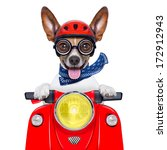 Stock photo crazy silly motorbike dog with helmet and sticking out the tongue 172912943