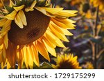 Yellow Sunflower In The Sunset...
