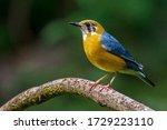 Orange Headed Thrush Bird...