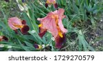 Splendid Bright Irises. Large...