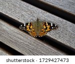 Painted Lady Or American Lady ...