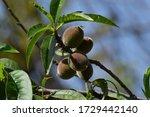 Shot Of Ceylon Gooseberries In...