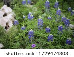 Texas Bluebonnets With Texas...