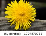 Dandelion Macro Photo. Yellow...