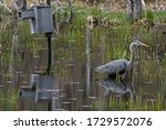 Great Blue Heron in water and a Bird House