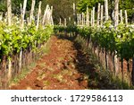 Small photo of vineyard rows in western wine region in Slovenia - Karst homeland of autochthonous red wine Teran, terano, famous made from red ground called terra rossa