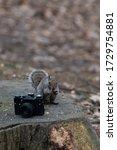 A Gray Squirrel Eats A Peanut...