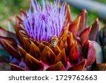 Honey Bee On Blooming Artichoke ...