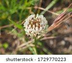 Clover Or Trefoil Flower  Clos...