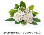 Small photo of Spring blooming shrub with many white flowers - Spirea (Spiraea cantoniensis). Also known as Reeve's spiraea, Bridalwreath spirea, Meadowsweet, Double White May or May Bush