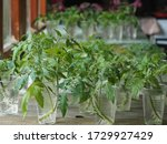 Small photo of Olericulture.When the tomato seedlings outgrow, the sprout is cut and put in a glass of water so that it takes root. Sowing tomatoes.