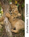 Lion Cubs Playing. Masai Mara ...