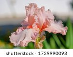 Close Up Of Pink Iris Flower O...